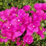 Bougainvillea for Grdening | Landscapers Santa Barbara