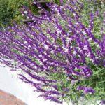 Mexican Bush Sage | Santa Barbara Gardens