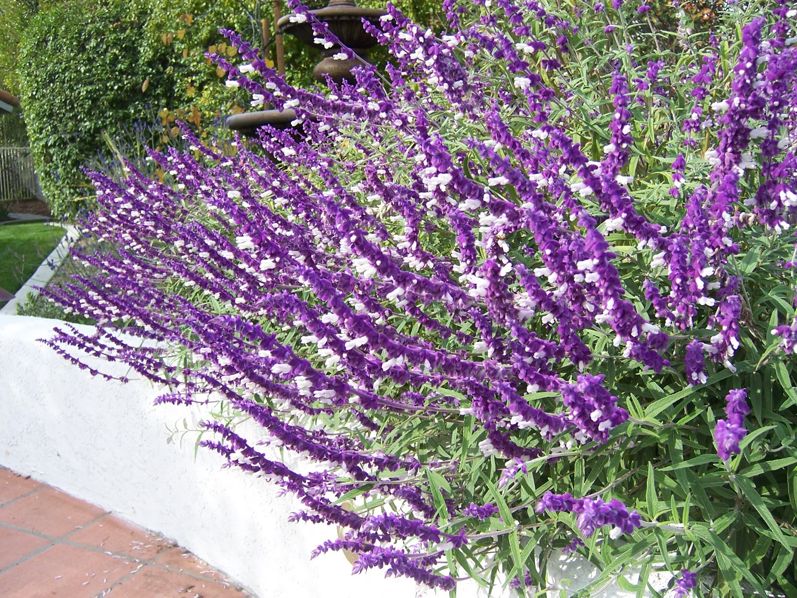 Mexican Bush Sage | Landscapers Santa Barbara