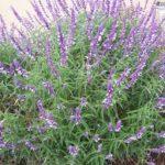 Lavender Spikes | Gardeners Santa Barbara