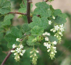 Ribes indecorum Plants