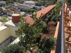 Dwarf size citrus trees Planting In Santa Barbara-sbevolutionlandscape