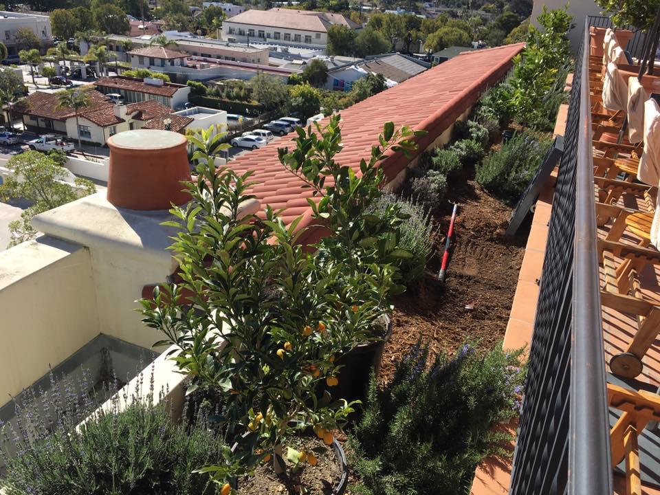 Citrus trees Planting In Santa Barbara | Gardeners Santa Barbara